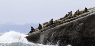 Sea LIon Shelf