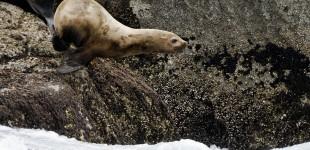 Sea Lion Jump