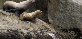 Sea Lions Prejump